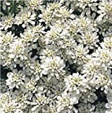 Just Seed - Flower - Candytuft - Iberis sempervirens - Snow Flake - 25 Seeds