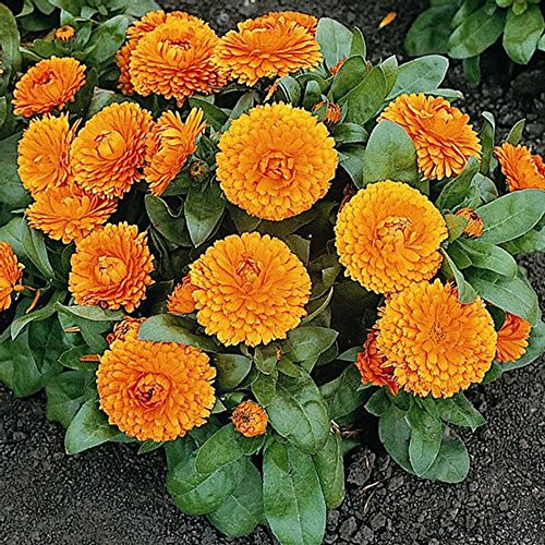 Calendula Seeds - Bon Bon Orange - Pot Marigold - Edible - English Marigold - Liliana's Garden