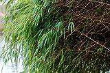 Fargesia rufa (Chinese fountain bamboo) 2 ltr pot
