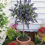 Standard Buddleja - 1 tree