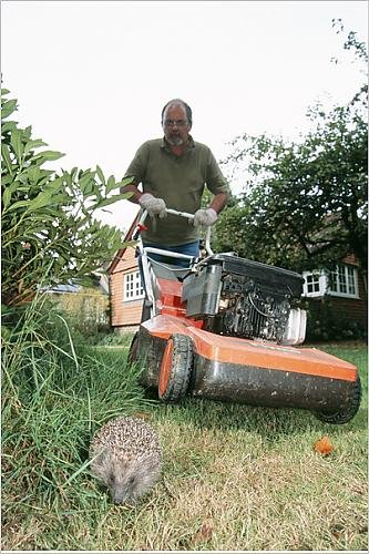 Hedgehog - near man with lawnmower, mowing grass.