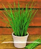 Chives Middleman Herb Seeds 4 pks in 1/4 running metres /MULTI-BUY DISCOUNT/ Well-suited for drying & deep-freezing
