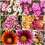 Winter Flower Seeds Kit- Ice Plant, Dianthus, Nemesia, Gazania 4pkts/50+ Seeds Combo By Seedscare India