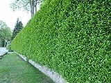 Wintergrüner Liguster Atrovirens - Ligustrum vulgare als Ligusterhecke - schnellwachsend pflegeleicht robust immergrün - Heckenpflanze von Garten Schlüter - geliefert im Topfballen