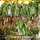 Hot Selling New Arrival 100pcs/pack nepenthes Seeds Perennial plant Seeds Bonsai Seeds Garden Plant