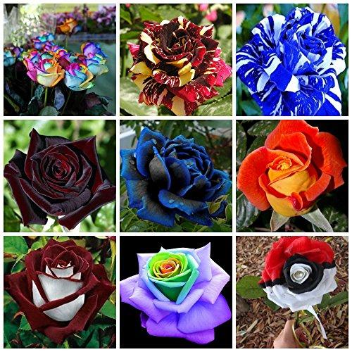 180-samen-rose-in-9-variety-und-seltene-satten-farben-20-rosa-regenbogen-20-rosa-abracadabra-20-rosa