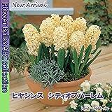 【爽やかな黄色】ヒヤシンス・シティオブハーレム・2球【秋植え球根】【甘い香り】
