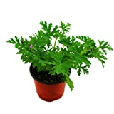 Afco 100Pcs Citronella Plant Seeds Mozzie Buster Mosquito Repellent Garden Bonsai Decor (Green)