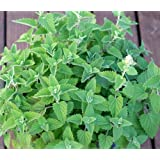 Organic Catnip Herb Seeds- Your cat will love you- 400+ Seeds