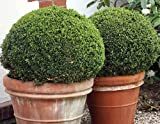 SprinterTM Boxwood - Buxus - Grows in Sun or Shade - Proven Winners - 4