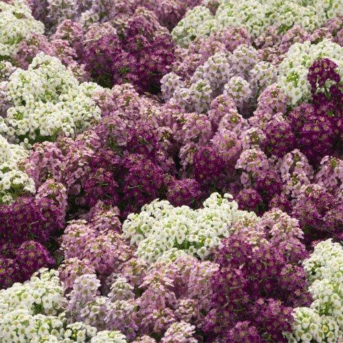 alyssum-mulberry-mix-2000-seeds