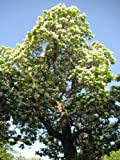50 Flowering NORTHERN CATALPA Speciosa TREE Seeds (aka Western Catalpa or Catawba / Indian Cigar / Fish-Bait)