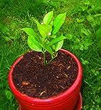 10PCS / BAG食用フルーツマイヤーレモンの種、エキゾチックなシトラス盆栽レモンツリーフレッシュ種子