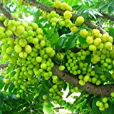 Amla Seeds (Emblica officinalis) 5+ Rare Tropical Fruit Tree Seeds in FROZEN SEED CAPSULES for the Gardener & Rare Seeds Collector - Plant Seeds Now or Save Seeds for Years