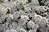 Just Seed - Wild Flower - Iberis amara- Wild Candytuft - 4000 Seed - Large Packet