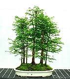 (Metasequoia*Ambizu*) 50 Pcs Dawn Redwood Forest Bonsai Seeds Bonsai Tree Metasequoia Glyptostroboides