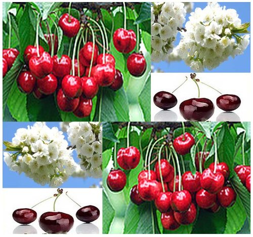 5 Sweet Mazzard Cherry Tree Seeds Prunus avium Showy Fragrant Flowers Edible & Decor