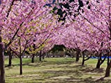 【1年間枯れ保証】【街路樹&公園樹】サクラ/河津桜 15cmポット