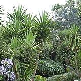 Yucca elephantipes 5L pot 1,2M+