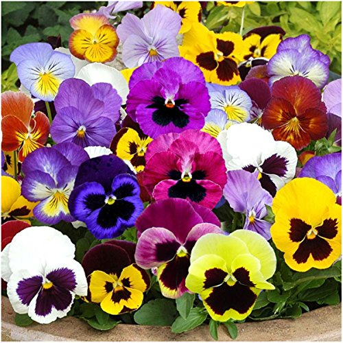 """Package of 600 Seeds, Pansy """"Swiss Giants Mixture"""" (Viola wittrockiana) Non-GMO Seeds by Seed Needs"""