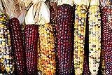 Calico Popcorn 40 Seeds-zea Mays- Heirloom-untreated -Hard to Find Gourmet Popcorn