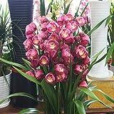 シンピジューム鉢植え 4本立ち 豪華な蘭の花鉢 お祝い・誕生日などのプゼント