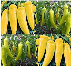 HUNGARIAN WAX HOT Pepper seeds - 16 Inch Tall Plants - Fruit Turns From YELLOW TO RED - Dwarf And Bushy Plants - 60 - 70 Days (4000 Seeds - 1 oz)