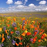 Search : Southwest Mix of Wildflower Seeds - Annuals and Perennials .4 Oz.