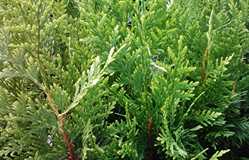 thuja-green-giant-arborvitae-lot-of-2-starter-plants-cell-pack-8-10-inches-tall-by-sandys-nursery-on