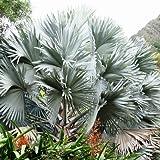 186.葉が銀色に輝くヤシのカリスマ的存在!ビスマルキア・ノビリス・シルバー。しかもマイナス5度まで耐えるので地植えもOk! [並行輸入品]