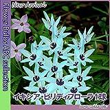 ◆ 超絶の希少種【限定入荷】 イキシア・ビリディフローラ1球 【秋植え球根】