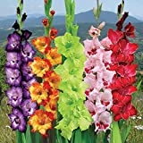 Easy Gardening Gladiolus Mix Color Flower Bulbs (Pack of 5 Bulbs)