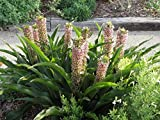 Eucomis 'Tugela Ruby' (Pineapple Lily) 1 Bulb- 9-11 Tropical Plant