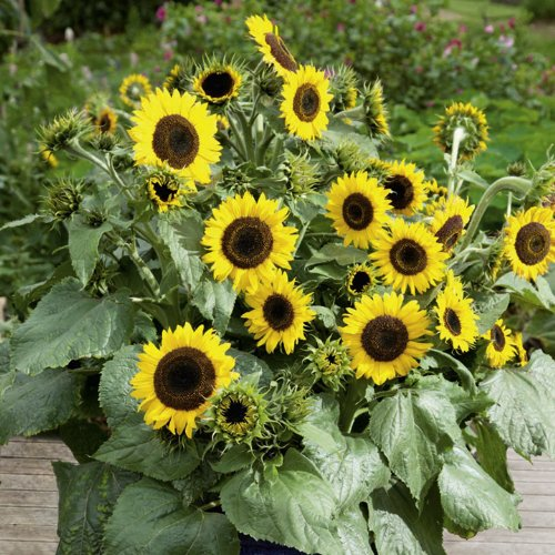 Suttons Seeds 133570 Waooh Sunflower Seed