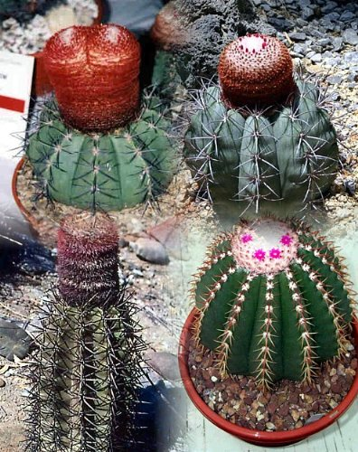 Melocactus Seeds