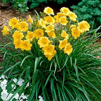 15 Bareroot Hemerocallis Stella D'Oros Daylilies 1-2 fan