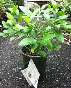 Meyer Lemon Tree One Gallon Baby Meyer