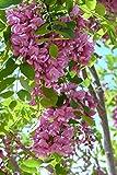 Purple Robe Black Locust Seeds 35 Seeds (Robinia pseudocacia) Upc 646263361580 + 1 Free Plant Marker
