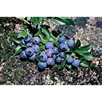 Ruby Carpet Groundcover Blueberry Plant - 4