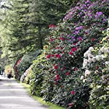 Rhododendron-Set, 2 Liter, je 1 Pflanze rot/rosa,...