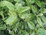 1 x Aucuba japonica Variegata (Sent in 9cm pot)