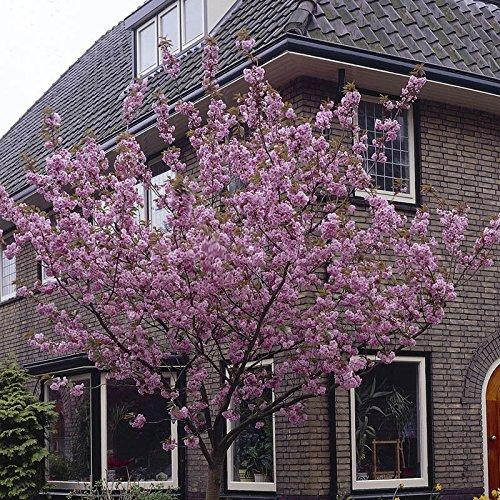 flowering-cherry-kanzan-bare-root-tree-1m
