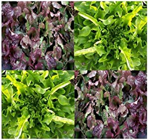 1/4 oz (6,000+ seeds) ~ BLEND #2 ~ Lettuce seeds Ruby Red, Oakleaf, Black Seeded Simpson, Bowl Red