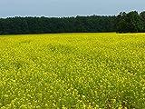 500 Graines d'ENGRAIS VERT - Agriculture Potager Bio - Rotation cultures