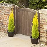 Pair of Golden Cypress Trees 70cm tall