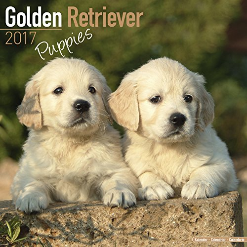Golden Retriever Puppies Calendar 2017 - Dog Breed Calendars - 2016 - 2017 wall calendars - 16 Month by Avonside
