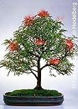 Tropica - Bonsai - Puderquastenstrauch - 10 Samen