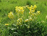 Just Seed British Wild Flower - Cowslip - Primula veris - 500 Seed