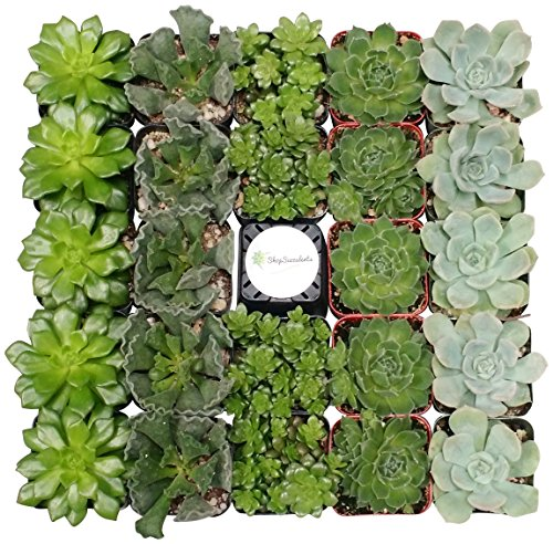 Shop Succulents Green Succulent (Collection of 100)