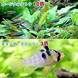 (熱帯魚)カージナルテトラ(ワイルド)(10匹) + オランダ・ラミレジィ(国産ブリード)(3匹) 本州・四国限定[生体]